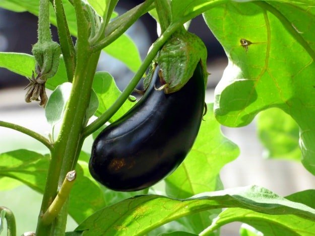 Peppermint, Spearmint and Thyme on Eggplants | Companion Planting: Boost Your Garden With Essential Oils