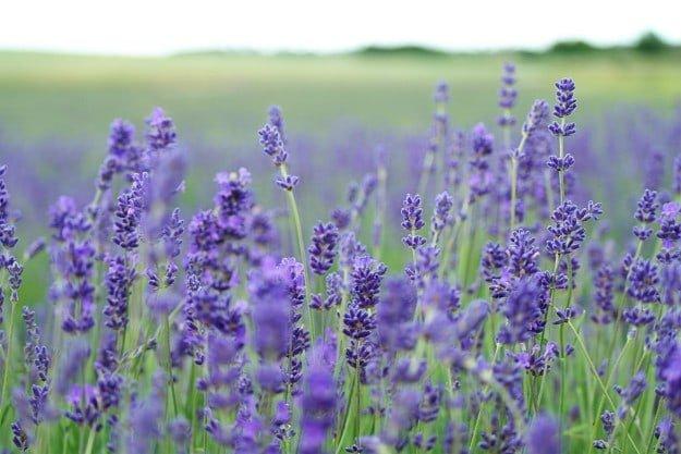 Lavender Oil | 7 Leading Essential Oils For Allergies