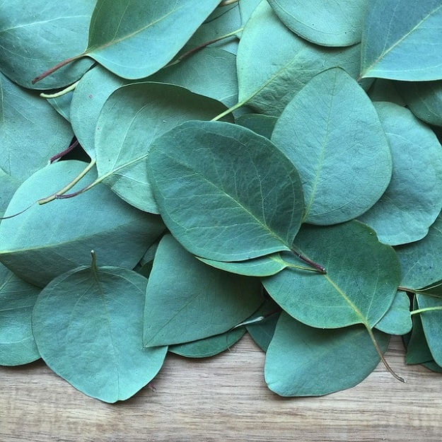 Eucalyptus Oil   Essential Oils for Arthritis