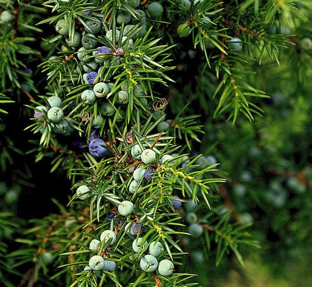 Juniper Berry Oil | Essential Oils for Sore Throat
