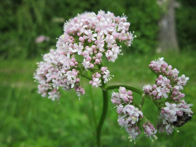 Valerian   Essential Oils for Sleep and How To Use Them