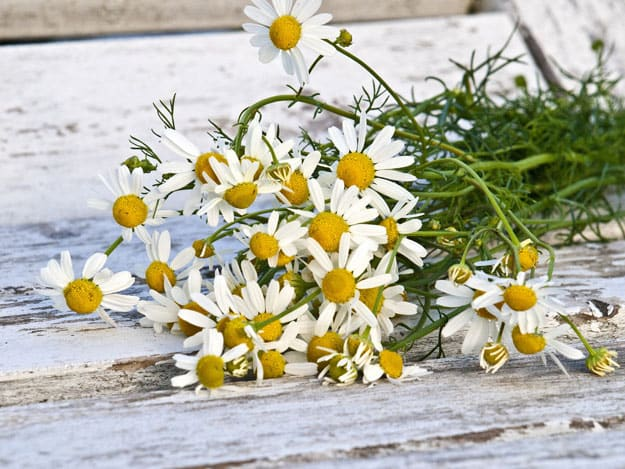 Chamomile Oil | Essential Oils for Acne | Essential Oils for Acne Prone Skin You Can Count On