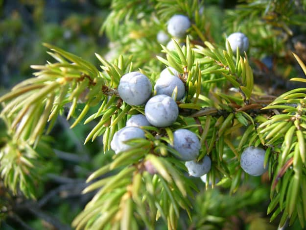 Juniper Berry | Essential Oils for Acne | Essential Oils for Acne Prone Skin You Can Count On