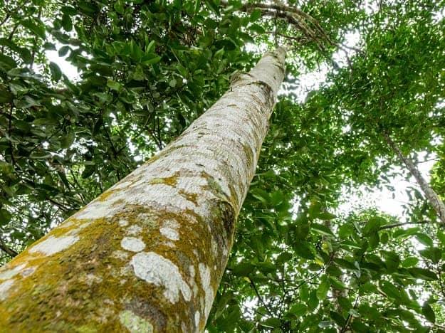 Agar Tree Agar Oil And Its Uses Life Beyond Organic