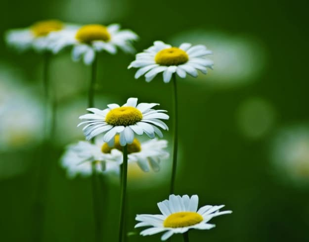 Chamomile | Alleviate Dog Allergies With These Essential Oils
