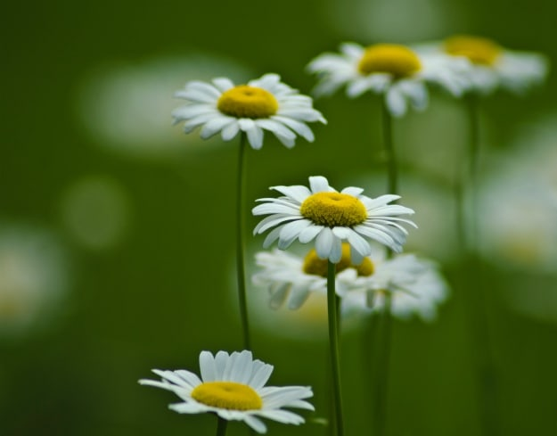 Chamomile | Essential Oils For Pain | Life Beyond Organic