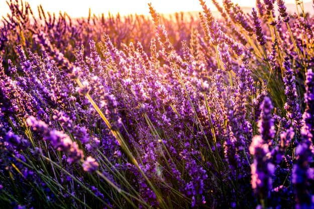 Lavender | Essential Oils For Pain | Life Beyond Organic