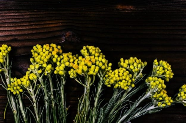 Helichrysum | Alleviate Dog Allergies With These Essential Oils