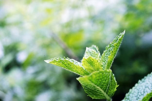 Peppermint | Alleviate Dog Allergies With These Essential Oils