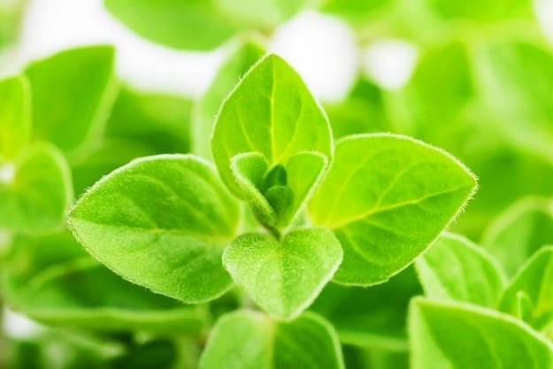 Sweet Marjoram | Alleviate Dog Allergies With These Essential Oils