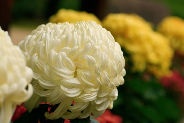 Chrysanthemum Flowers | Organic Pesticides For A Healthy Garden