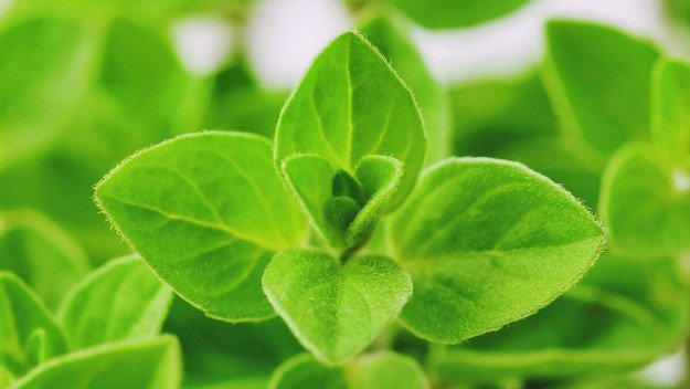 Try Sweet Marjoram Essential Oil to Prevent Heart Failure | Essential Oils For High Blood Pressure You Need To Know
